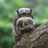 Портрет смешной бородатой обезьяны tamarin императора от Бразилии июня Стоковые Изображения