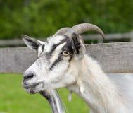 Портрет смешной козы Стоковые Фото