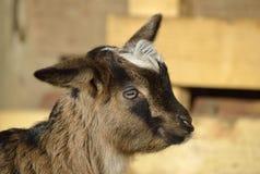 Портрет смешной молодой козы (goatling) Стоковое Изображение RF