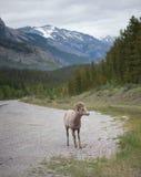 Портрет снежных баранов с скалистыми горами в предпосылке Стоковые Изображения