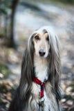 Портрет собаки, афганской борзой Собака как человек Стоковая Фотография RF