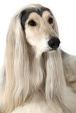 Портрет собаки афганской борзой Стоковые Изображения RF