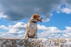 Портрет собаки бигля на предпосылке неба и белых облаков Стоковые Изображения RF