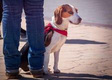 Портрет собаки бигля Стоковые Изображения