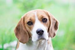 Портрет собаки бигля внешний Стоковое фото RF