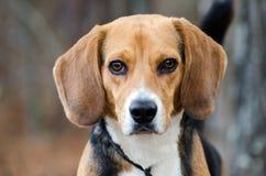 Портрет собаки бигля Стоковое Изображение RF