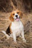 Портрет собаки бигля outdoors Стоковые Фотографии RF