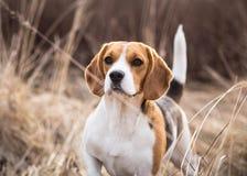 Портрет собаки бигля outdoors Стоковая Фотография