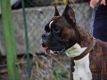 портрет собаки боксера Стоковая Фотография