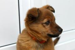 Портрет собаки Брайна Стоковое фото RF