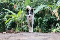 Портрет собаки бродяги Индонезии пока смотрящ вас Стоковая Фотография