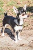 Портрет собаки взрослого чихуахуа стоковые фото