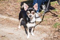 Портрет собаки взрослого чихуахуа стоковое фото