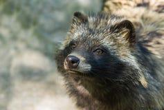 Портрет собаки енота гипнотизируя посетителей стоковая фотография