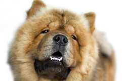 портрет собаки конца чау-чау breed вверх Стоковое Изображение
