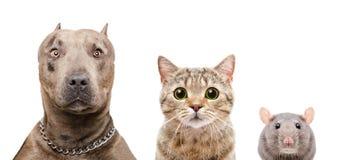 Портрет собаки, кота и крысы стоковые изображения