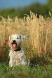 Портрет собаки миниатюрного Schnauzer Стоковое фото RF