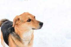 Портрет собаки на снеге Стоковая Фотография