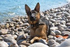Портрет собаки на Pebble Beach Стоковые Фотографии RF