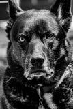 Портрет собаки породы смешивания немецкой овчарки сибирский сиплый на открытом воздухе стоковые фото