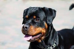Портрет собаки породы rottweiler на идти Стоковые Изображения RF