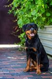 Портрет собаки породы rottweiler на идти Стоковая Фотография RF