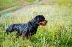 Портрет собаки породы rottweiler на идти Стоковое Фото