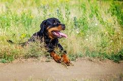 Портрет собаки породы rottweiler на идти Стоковые Изображения