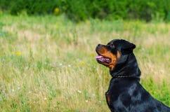 Портрет собаки породы rottweiler на идти Стоковые Фото