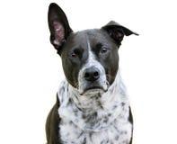 Портрет собаки при одно неповоротливое изолированное ухо Стоковые Фотографии RF