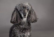 Портрет собаки пуделя Стоковое Фото