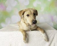 Портрет собаки смешивания Лабрадор с красочной предпосылкой лежа вниз стоковое фото