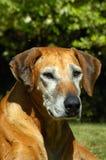 портрет собаки старый Стоковая Фотография RF