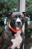Портрет собаки усаживания черной Стоковое Фото