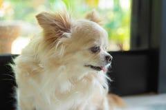 Портрет собаки чихуахуа стоковое изображение rf