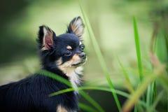 портрет собаки чихуахуа напольный стоковое фото rf