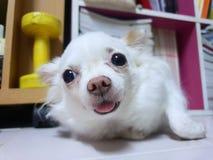 Портрет собаки чихуахуа смотря камеру на поле стоковые фото