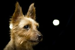 Портрет собаки шелковистого терьера стоковое изображение rf
