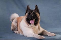 Портрет собаки akita американца Стоковое Изображение