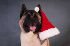Портрет собаки akita американца Стоковое Фото