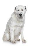 Портрет собаки Alabay Стоковые Изображения RF