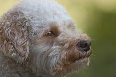 Портрет собаки Cavapoo Стоковая Фотография RF