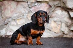 Портрет собаки Dachshund Стоковое фото RF