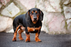 Портрет собаки Dachshund Стоковые Изображения