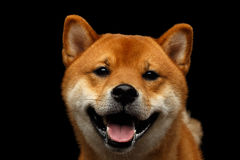 Портрет собаки inu Shiba головы, изолированной черной предпосылки Стоковое Изображение RF