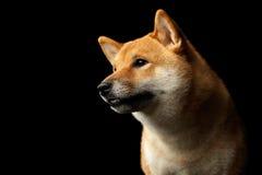 Портрет собаки inu Shiba головы, изолированной черной предпосылки Стоковые Изображения RF