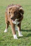 Портрет собаки Karakachan Болгарская собака чабана в парке Стоковые Изображения RF