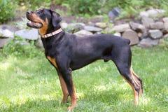 Портрет собаки Rottweiler смотря вверх полный вид сбокуый тела Стоковые Фото