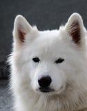 Портрет собаки Samoyed Стоковое Изображение