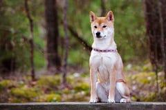 Портрет собаки Shiba-inu Стоковое Изображение